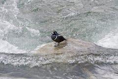 De eend van de harlekijn. Stock Fotografie