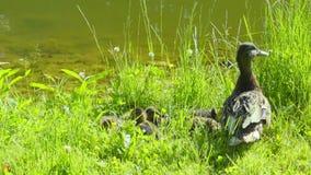 De eend van de moeder met haar eendjes stock video