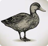 De eend van de vogel, hand-trekt. Vector illustratie. Royalty-vrije Stock Afbeeldingen