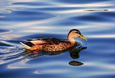 De eend van het water Royalty-vrije Stock Afbeelding