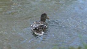 De eend in de vijver neemt waterbehandelingen stock footage