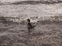 De eend zwemt in het water royalty-vrije stock foto