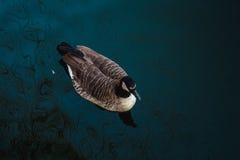 De eend zwemt langs het meer Royalty-vrije Stock Afbeeldingen