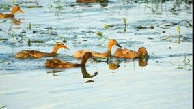 De eenden die in de rivier zwemmen stock foto's