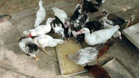 De eenden en de kippen eten voer stock footage