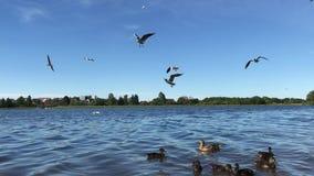 De eenden en de zeemeeuwen voeden stock video