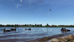 De eenden en de zeemeeuwen voeden stock videobeelden