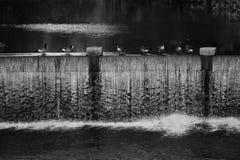 De eenden stelden op een rij in Verdrietdalingen op - OHIO - de V.S. stock fotografie