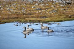De eenden van de eidereend in een kleine vijver - het Noordpoolgebied, Spitsbergen royalty-vrije stock afbeeldingen