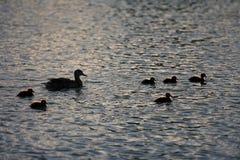 De eenden van de moeder en van de baby het zwemmen royalty-vrije stock foto