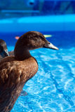 De eenden van het huisdier in de pool van een kind Stock Afbeeldingen