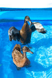 De eenden van het huisdier in de pool van een kind Stock Afbeelding