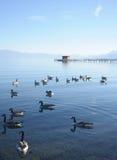 De Eenden van het meer Stock Fotografie