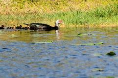 De eenden van Muscovy het zwemmen Royalty-vrije Stock Afbeeldingen