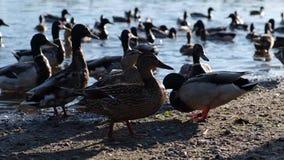 De eenden worden gevoed op de rivierbank stock videobeelden