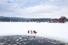 De eenden zijn dichtbij de winter bevroren meer met pijnboombos Stock Fotografie