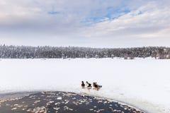 De eenden zijn dichtbij de winter bevroren meer met pijnboombos stock foto