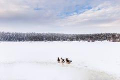 De eenden zijn dichtbij de winter bevroren meer met pijnboombos stock afbeelding