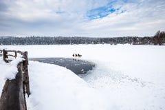 De eenden zijn dichtbij de winter bevroren meer met pijnboombos royalty-vrije stock fotografie