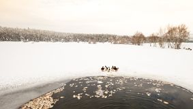 De eenden zijn dichtbij de winter bevroren meer met pijnboombos stock afbeeldingen