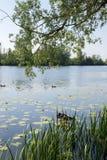De eenden zwemmen in de rivier op een de zomerdag Het Dorp van Arkhangelsk Rusland Stock Afbeeldingen