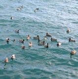 De eenden zwemmen in het blauwe overzees Royalty-vrije Stock Foto