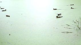 De eenden zwemmen op een vijverachtergrond stock videobeelden