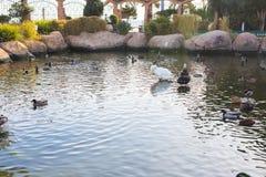 De eenden zwemmen op een vijverachtergrond Binnenlandse dorpseenden stock fotografie