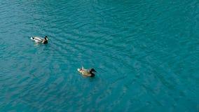 De eenden zwemmen in de vijver in het Park royalty-vrije stock foto's