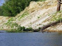 De eendjes zwemmen dichtbij de gevallen boom Royalty-vrije Stock Fotografie
