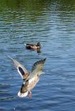 De eendvliegen aan het water stock fotografie