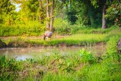 De eenvoudige levensstijl van landelijke Thaise boer, landbouwers bewerkt in t Stock Afbeeldingen