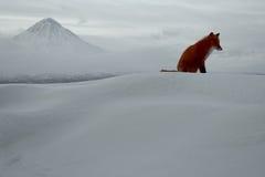 De eenzaamheid van de winter, het vosleven Royalty-vrije Stock Foto's