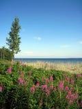 De eenzame berk windt voor de kust Stock Foto's