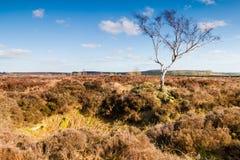 De eenzame Berkboom in Rowseley legt vast Stock Foto