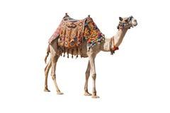De eenzame binnenlandse kameel die op wit wordt geïsoleerd Stock Afbeelding