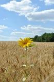 De eenzame bloem op een gebied van tarwe Stock Afbeeldingen