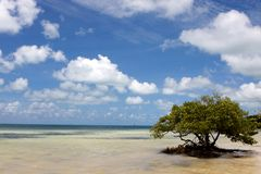De eenzame Boom van de Mangrove Royalty-vrije Stock Fotografie