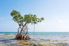 De eenzame boom van de Mangrove Stock Fotografie