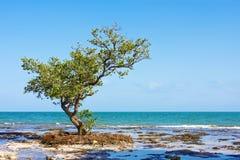 De eenzame boom van de Mangrove Royalty-vrije Stock Afbeeldingen