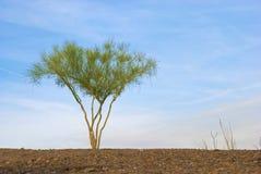 De eenzame Boom van Palo Verde Stock Afbeeldingen