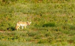De eenzame coyote jacht op de prairie van Colorado royalty-vrije stock afbeeldingen
