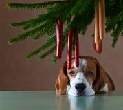De eenzame hond Stock Foto