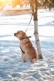De eenzame hond met rood haar bond aan boomleiband wachtend op eigenaar in de winter zonnige dag royalty-vrije stock foto