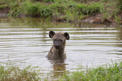 De eenzame hyena zwemt in een kleine pool op hete dag te bedaren Stock Foto's