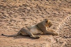 De eenzame leeuw ligt in de Afrikaanse zon Stock Foto