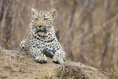 De eenzame luipaard bepaalt het rusten op een mierenhoop in aard tijdens dag royalty-vrije stock foto's