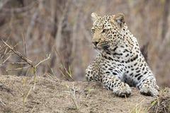 De eenzame luipaard bepaalt het rusten op een mierenhoop in aard tijdens dag Royalty-vrije Stock Afbeeldingen