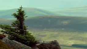 De eenzame scène van de pijnboomboom op een steile helling tijdens hoge winden in het rookkwartsen nationale park stock videobeelden