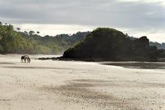 De eenzame Voorzijde van het Strand van Paarden, Costa Rica Royalty-vrije Stock Fotografie